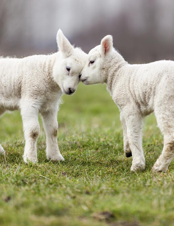 Hrana za ovce