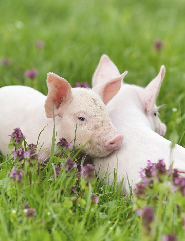 Hrana za svinje